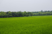 绿意有机稻田