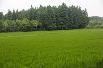 森林白鹭良田