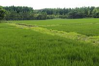 田野绿意浓