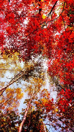 仰拍红叶谷树木