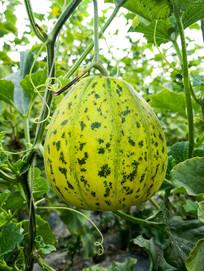 八里香香瓜