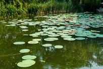 湖面漂浮的荷叶