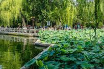 济南大明湖荷塘美景