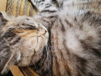 睡着的美国短毛猫