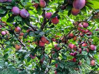 杏梅李子树