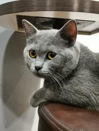 英国短毛猫