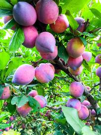 紫红杏梅李子