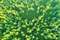 大兴安岭绿松林
