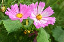 格桑花的花朵