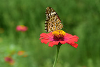 菊花花朵和蝴蝶