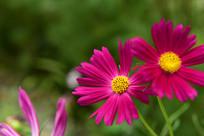 美丽的格桑花花瓣