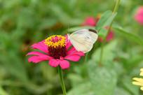田野里的百日菊花朵