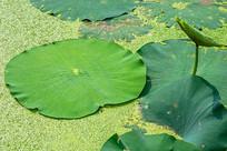 池塘里的莲叶