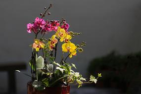 红黄蝴蝶兰盆景