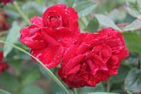 雨中盛开的花朵