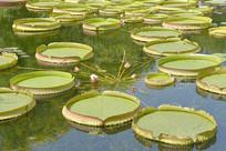 古猗园池塘中的霸王莲