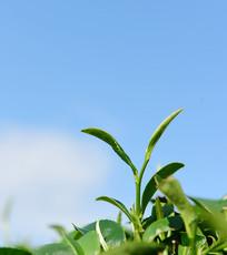 绿色背景下的芽茶