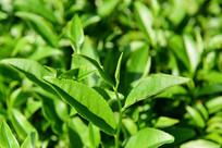绿色的茶园景色