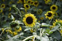 蜜蜂与向日葵