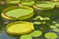 上海古猗园园林中的霸王莲