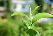 生长的绿色茶芽