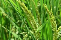 生态有机稻谷