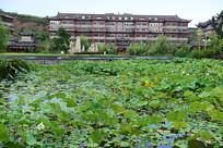 一池子的荷花美景