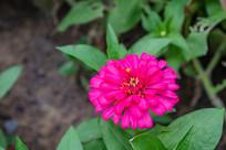 夏天里的百日菊