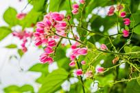 药用植物珊瑚藤