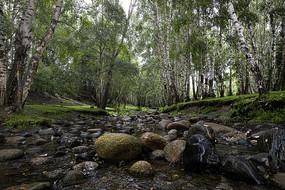 溪流穿过白桦林