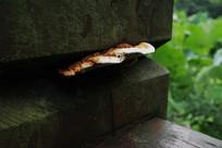 夹缝中野生菌菇