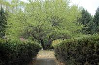 一棵枝繁叶茂的老树