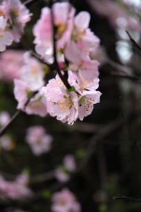 榆叶梅花瓣特写