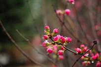 榆叶梅花苞