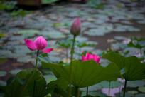 荷花与花苞