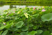 开满荷花的池塘
