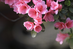 蜡质杜鹃花