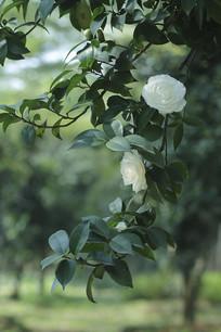 两朵白色山茶花