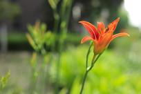一朵盛开的萱草花