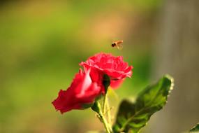 月季花和小蜜蜂