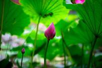 荷花花苞与绿叶