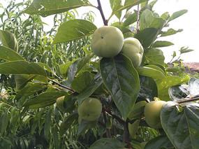 枝头青柿子