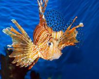 海洋观赏鱼类狮子鱼