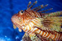 美丽的狮子鱼