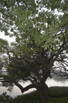 长得颇有艺术感的树木