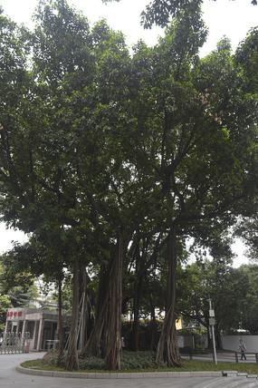 高高的老树木