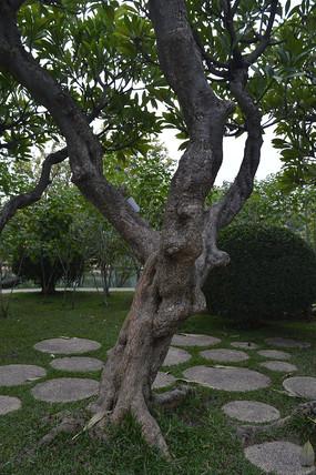 宫粉羊蹄甲树木