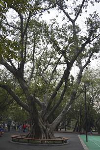 公园广场树木
