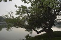 公园湖岸边树木
