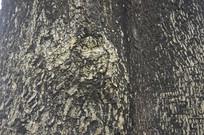 黑板树树木树皮纹理